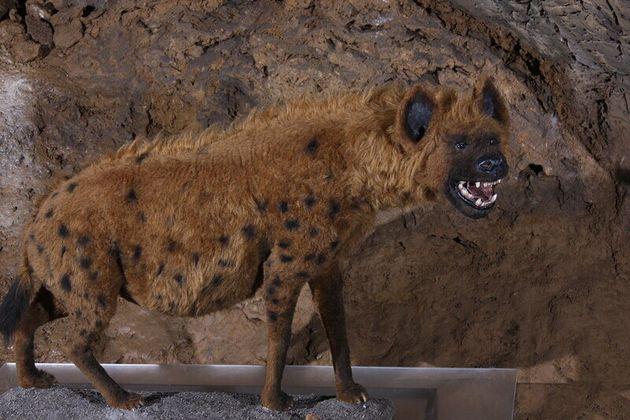 지금은 멸종된 빙하시대 유럽의 동굴 하이에나 재현품. 오늘날의 하이에나보다 덩치가 훨씬