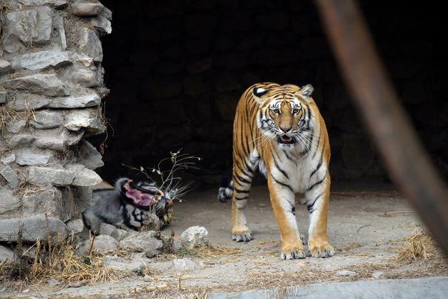 Τέξας: Ανδρας συνελήφθη επειδή η τίγρης του έκανε βόλτες στη