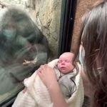 Κάτι συγκινητικό συμβαίνει όταν μια μαμά - γορίλας βλέπει ένα νεογέννητο