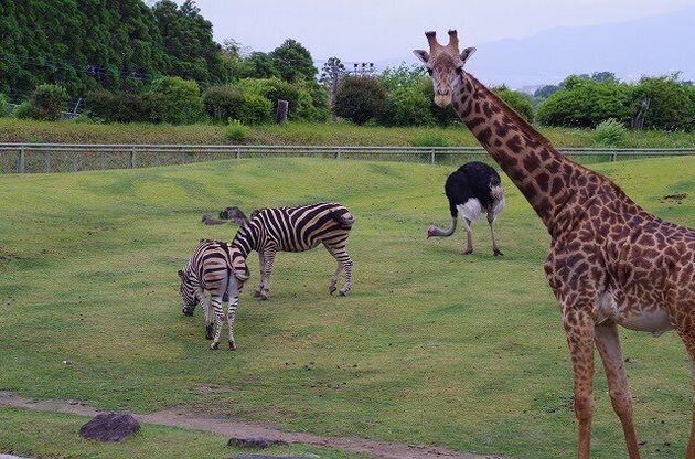 平川動物公園のキリンやシマウマ