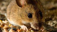 Australia Unveils Weapons Of Mouse Destruction To Tackle Rodent 'Plague'
