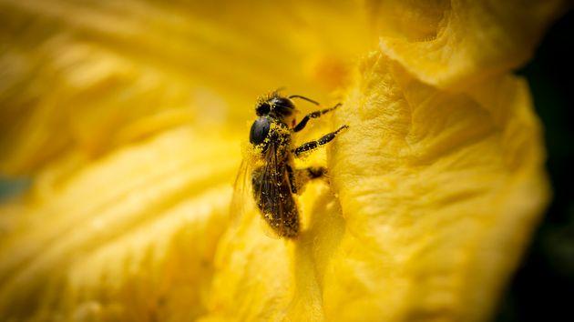 Le api solitarie arruolate come sentinelle anti inquinamento