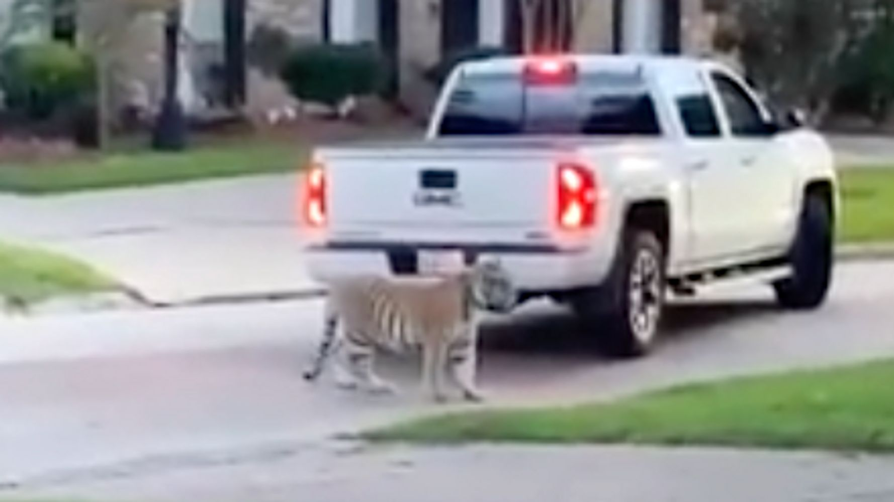 Tiger That Roamed Houston And Went Missing Is Found And Gets A Home