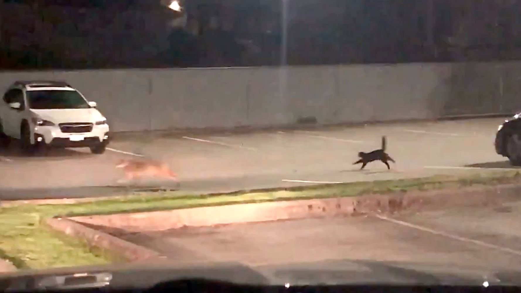 Lionhearted Cat Flips Out At Coyote In Video Of Parking Lot Run-In