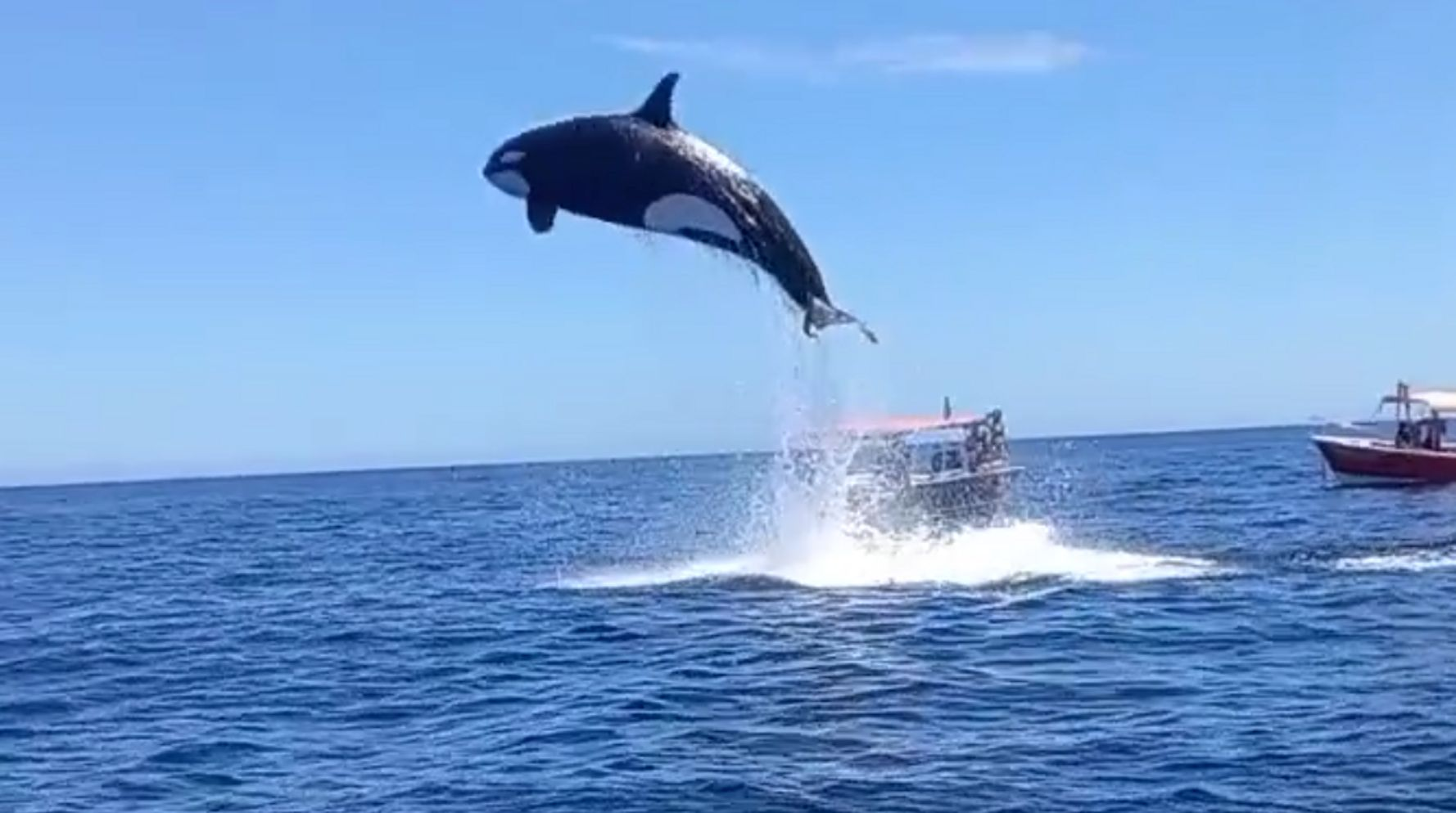 This Orca's Vertical Leap Would Blow Away The NBA