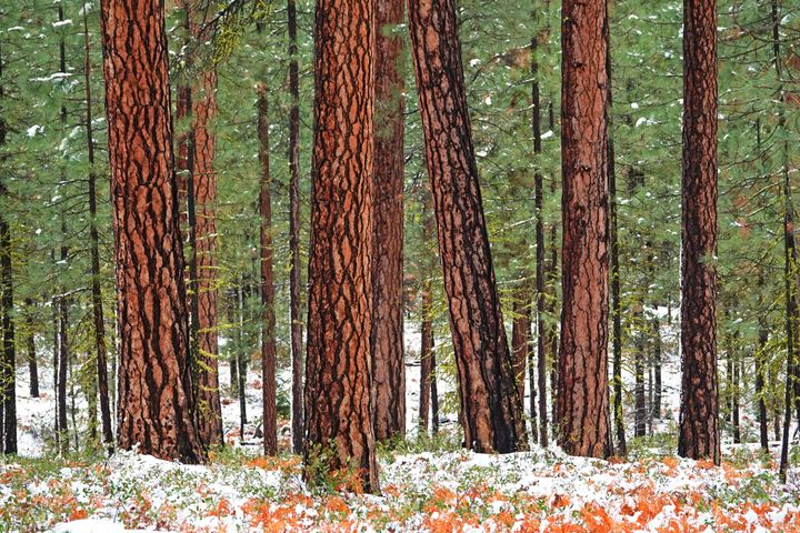 Old-growth ponderosa pines in the Deschutes National Forest in the Cascade Mountains of central Oregon, near the town of Sist