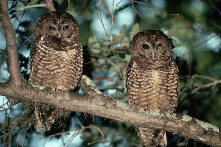 A pair of northern spotted owls.