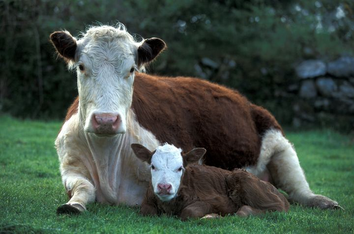 A stock image showing a cow with her calf.