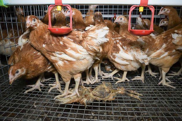 Le condizioni negli allevamenti intensivi sono un problema che riguarda