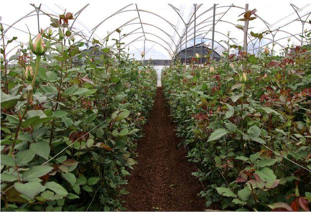 <i><strong>Une plantation de roses en Équateur.</strong></i>La célébration de la fête des mères ce 30 mai est l'occasion de se pencher sur les conditions de production de roses pour l'exportation et ses impacts socio-écologiques locaux en Equateur.