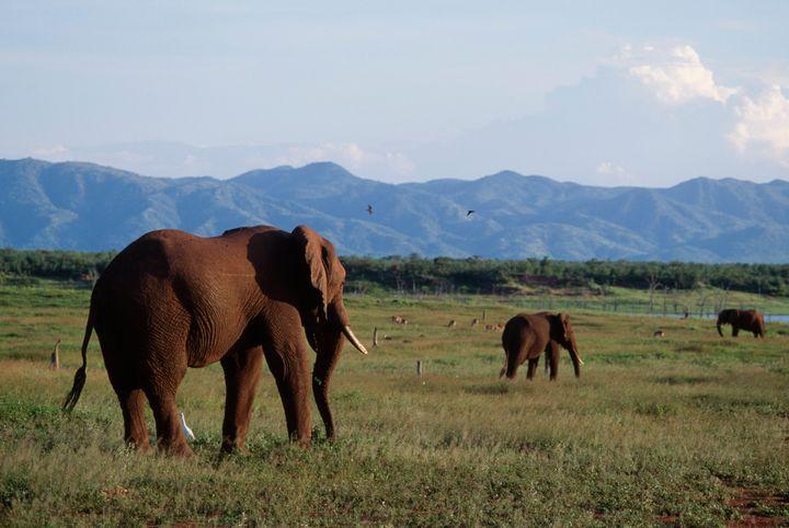 African bush elephants on Fothergill Island, Lake Kariba, Zimbabwe.