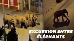 Ces éléphants se promènent tranquillement dans une ville