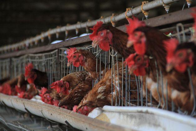 Le Conseil d'Etat donne 6 mois au gouvernement pour vraiment interdire les poules en cages (Photo prétexte...