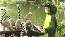 11-Year-Old Pianist Wears Alligator Costume To Perform For Lemurs