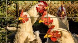 Premier cas humain de la grippe aviaire H10N3, le risque d'une épidémie