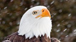 Le gouvernement Biden veut rétablir des protections d'espèces supprimées par