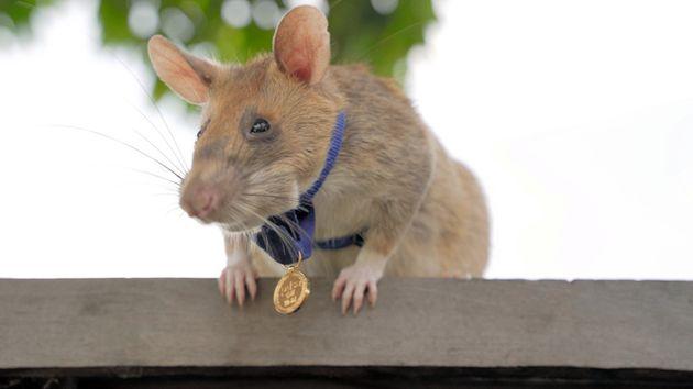 金メダルを首からかける「英雄ネズミ」のマガワ=APOPO提供