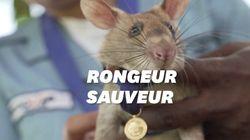 Ce rat géant a reçu une médaille d'or pour avoir sauvé des