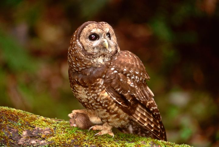 The Trump administration slashed the amount of protected federal old-growth forest used by the spotted owl (pictured). The Bi