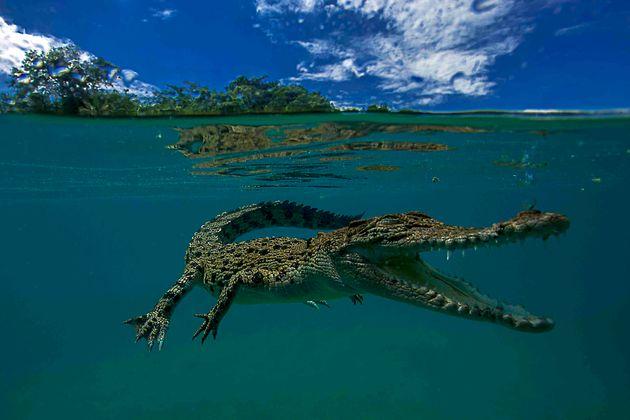 Il coccodrillo marino, il più grande predatore terrestre