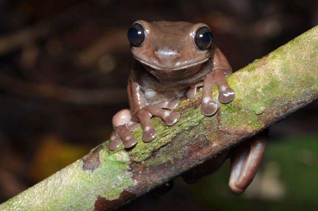 La grenouille chocolat peut être trouvée dans les marais de la forêt tropicale de