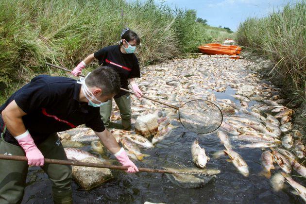 Des pompiers ramassent des poissons morts ale 06 juillet 2008 dans la rivière Agly sur la commune...