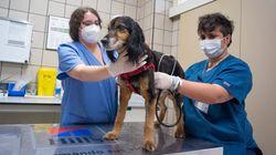 Leptospirosis: la infección mortal para los perros que tiene en alerta a los