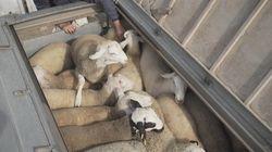 Trasporto di animali vivi, una crudeltà che deve
