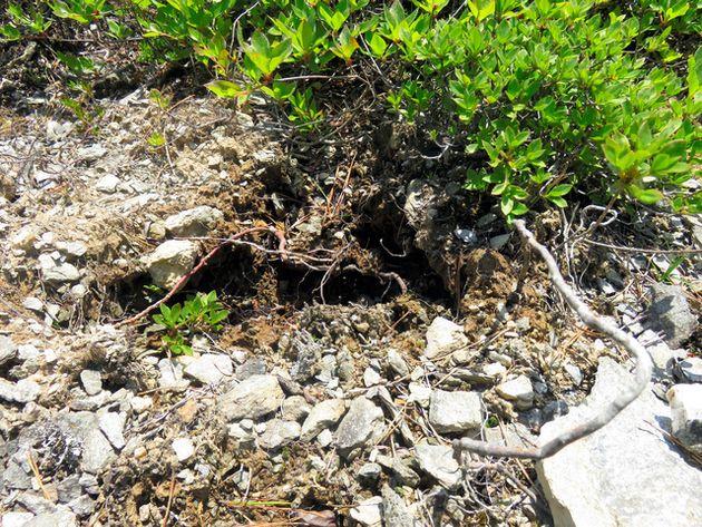 ツガザクラの盗掘跡=2021年6月8日午前11時14分、愛媛県新居浜市提供