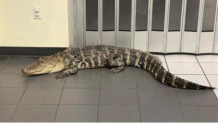 A 7-foot-long alligator somehow found its way into the the Spring Hill Post Office in Florida's Hernando County.