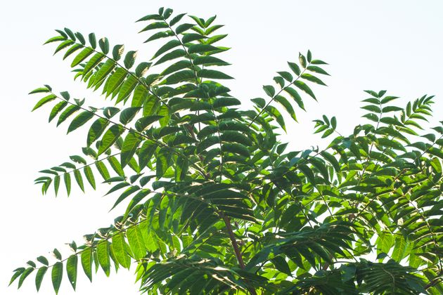 Ailanthus altissima fis a genus of trees belonging to the family Simaroubaceae. Branches with green leaves...