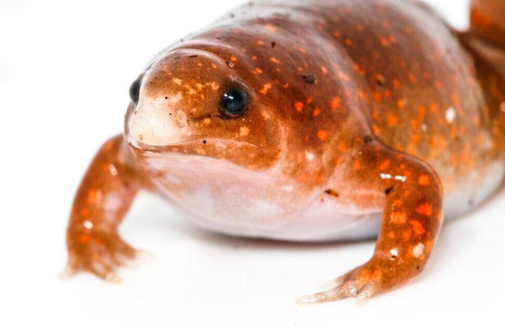 좀비 개구리라는 이름의 신종으로 발표된 맹꽁이과 개구리. 흙 속에서 평생을 보낸다.