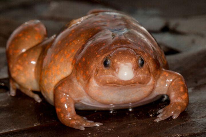 좀비 개구리는 길이가 4㎝가 안 되는 소형 개구리이지만 입이 뾰족하고 몸은 뚱뚱하다. 작은 토양동물이 주식이다.
