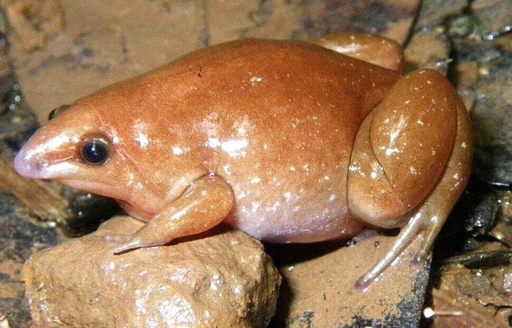 이번에 신종으로 발견된 또 다른 시납투라누스속 개구리인 시납투라누스 메소모르푸스.
