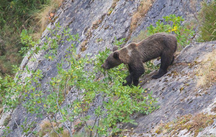 Otro ejemplar de oso pardo.