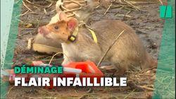 Une armée de rats entraînés à détecter des mines au