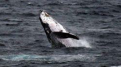 L'histoire de ce pêcheur avalé par une baleine est digne de
