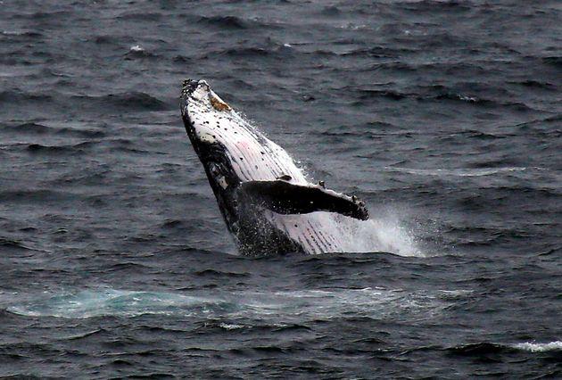 Photo d'illustration d'une baleine à bosse près de Sydney en Australie en juin