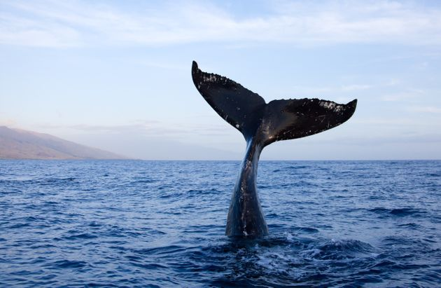 Humpback whale tail high out of water in Maui,