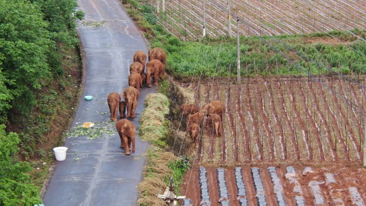 In this photo taken June 4, 2021 and released by Yunnan Forest Fire Brigade, a migrating herd of elephants roam through farml