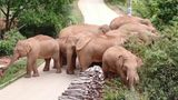 Already famous at home, China's wandering elephants are now becoming international stars. (Yunnan Forest Fire Brigade via AP)