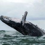 死を覚悟した。ザトウクジラに30秒間のみこまれた漁師が振り返る