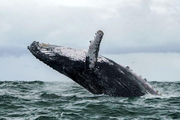 ザトウクジラのイメージ写真