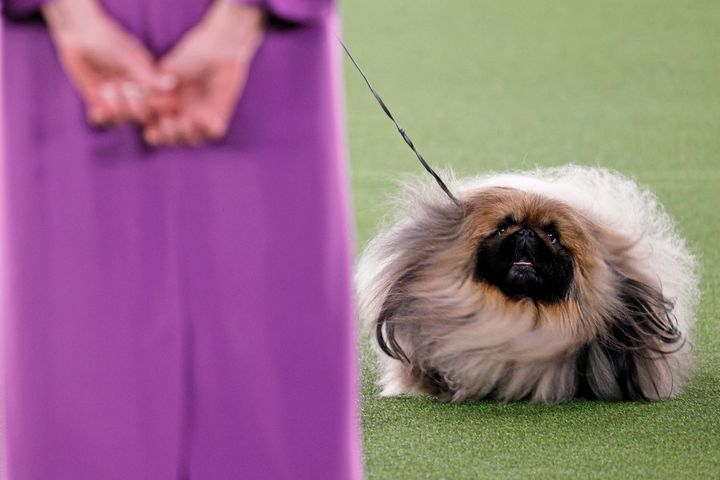 Wasabi the Pekingese won Best in Show at the 145th Annual Westminster Kennel Club Dog Show on Sunday.