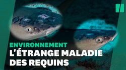 Ces requins ont une maladie de la peau et le réchauffement pourrait en être la