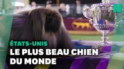 Ce pékinois nommé Wasabi a remporté le plus fameux concours canin du