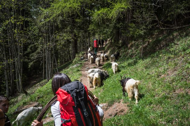 10.05.2014 Otro, Val Sesia (IT). Traditional 'transumanza'. Every begging of summer the shepherds move...