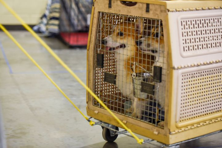 Two dogs traveling in a crate.