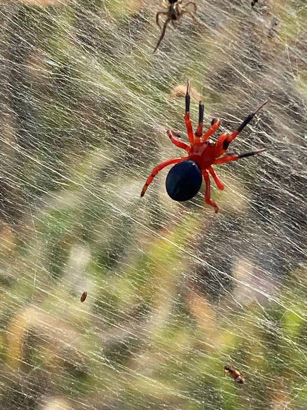 Μια εικόνα από τα μέσα κοινωνικής δικτύωσης δείχνει την κόκκινη και μαύρη αράχνη κοντά σε υγρότοπους...