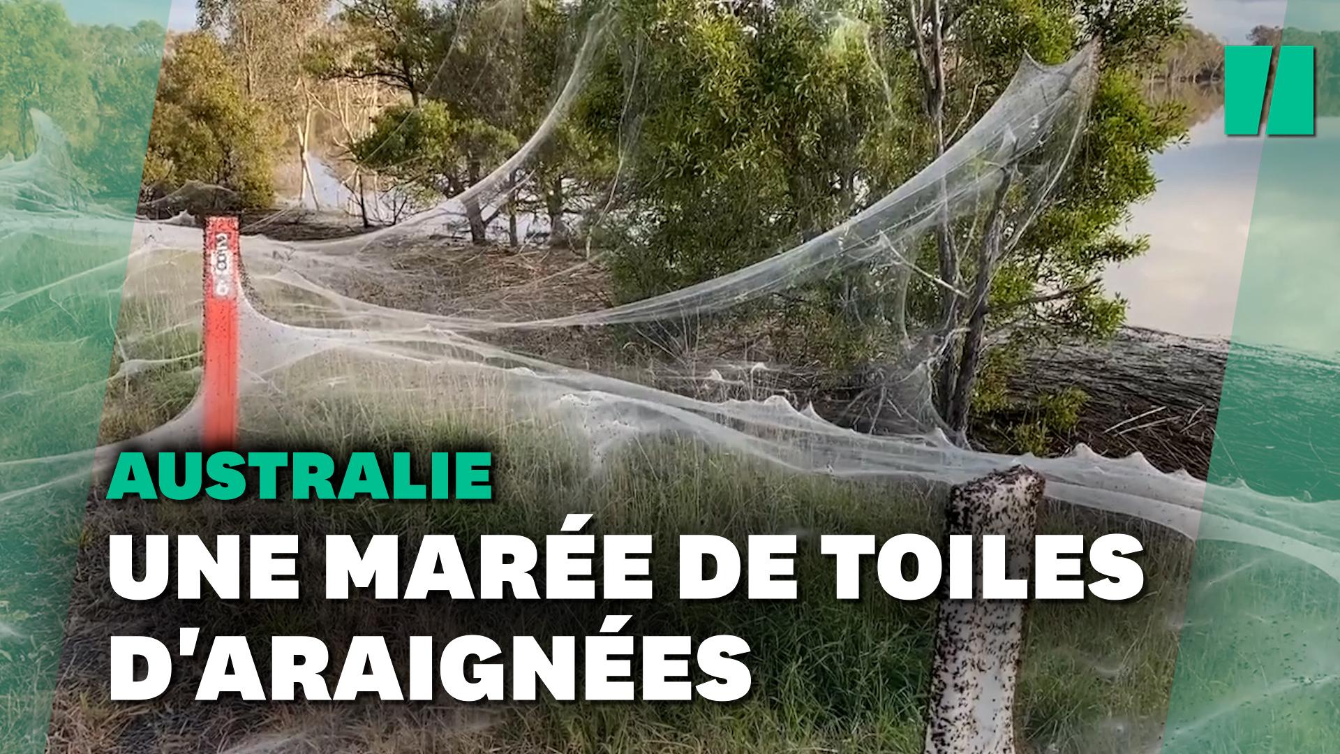 En Australie, des prairies recouvertes de toiles d'araignées géantes